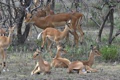 Group of antelopes the impala. Stock Photography
