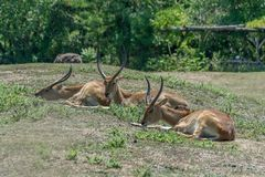 Group of antelopes Kobus leche resting on a grass. Summer sunny day royalty free stock image