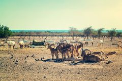 Group of antelopes and mountain sheep in a safari park on the island of Sir Bani Yas, United Arab Emirates stock photography