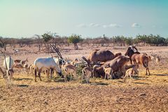 Group of antelopes and mountain sheep in a safari park on the island of Sir Bani Yas, United Arab Emirates royalty free stock photos