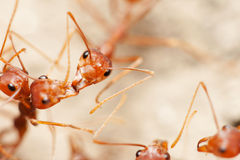 Group of ants Royalty Free Stock Photography