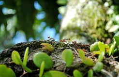 A group of ants. Are looking for food at the jungle Royalty Free Stock Photos