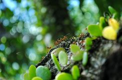 A group of ants. Are looking for food at the jungle Stock Photos