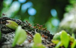 A group of ants. Are looking for food at the jungle Royalty Free Stock Photography