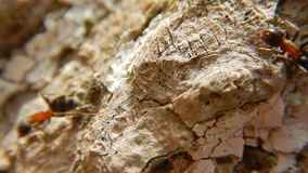 Group of Ants on wood Close Up. Red wood ants stock video footage