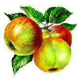Group of apple with leaf on branch Royalty Free Stock Photography