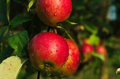Group of apples after rain stock image