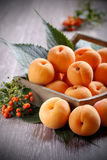 Group of apricots Stock Photography