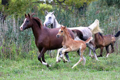 Group of arabian horses galloping on beautiful natural environme Stock Photos