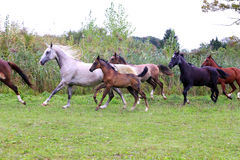 Group of arabian horses galloping on beautiful natural environme Stock Images