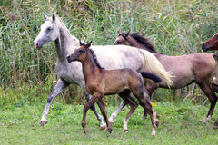 Group of arabian horses galloping on beautiful natural environme Royalty Free Stock Image
