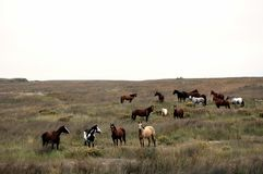 Arabian horses out to pasture in South Dakota, U.S.A. Group of Arabian horses of various colors form a nice tribe Stock Photography