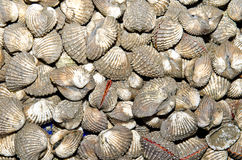 Group of ark shell Royalty Free Stock Images