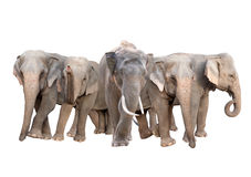 Group of asia elephant isolated Stock Photography