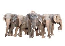 Group of asia elephant isolated Stock Photography