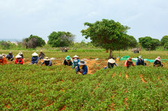 Group Asia farmer working harvest peanut Stock Image