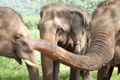 Group of Asian Elephants Royalty Free Stock Photo