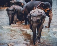 A group of Asian elephants in a river Stock Photos