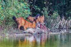 Group of Asian Wild Dog Royalty Free Stock Photos