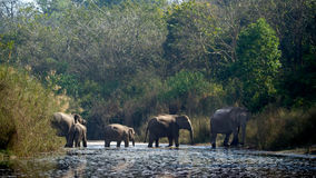 Group of Asiatic elephant crossing Karnali river in Nepal Royalty Free Stock Image