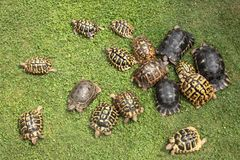 Group of assorted species of rare terrestrial turtles in a garden. Rare terrestrial turtles in a garden royalty free stock photo