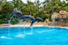 A group of Atlantic bottlenose dolphins Tursiops truncatus stock photo