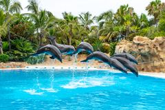 A group of Atlantic bottlenose dolphins Tursiops truncatus stock photography
