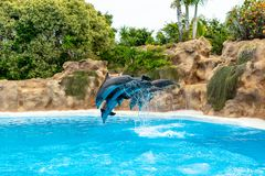 A group of Atlantic bottlenose dolphins Tursiops truncatus royalty free stock photography