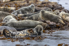 Group Atlantic Grey Seal Royalty Free Stock Photography