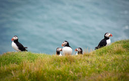 Group of Atlantic Puffins Royalty Free Stock Photo