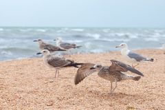 Group of attractive big seagulls on beach. Group of attractive big seagulls on the beach Royalty Free Stock Images
