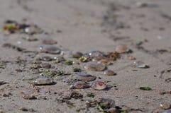 Many Aurelia aurita common jellyfish, moon jellyfish, moon jelly, saucer jelly lying on the beach stock photography