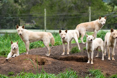 Group of Australian Dingos (Canis lupus dingo) Royalty Free Stock Images