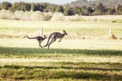 Group of australian kangaroos Stock Image