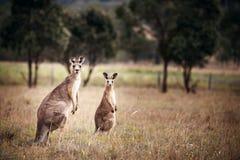 Group of australian kangaroos. At Hunter Valley, Australia royalty free stock image