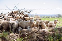 Australian Merino wool sheep farm located outside of Griffith, in New South Wales stock photography