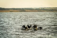 Group of Australian Pelican Pelecanus conspicillatus diving for food on Lake Colac stock photography