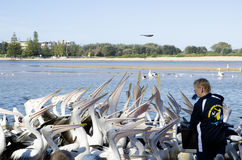 A group of Australian pelicans for feeding time. stock image