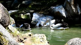 Group of Australian Pelicans Pelecanus conspicillatus swimming around rock and roots of trees on small stream. In australian exposition of ZOO garden stock video footage
