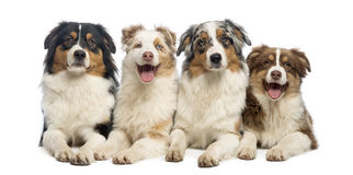 Group of Australian Shepherd lying and looking Stock Photo