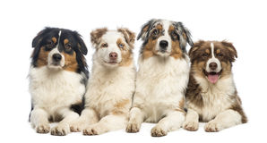 Group of Australian Shepherd lying and looking Royalty Free Stock Images