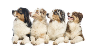Group of Australian Shepherd lying and looking up Stock Photography