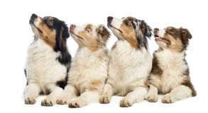 Group of Australian Shepherd lying and looking up Stock Images