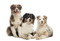 Group of Australian Shepherd lying and sitting Royalty Free Stock Photos