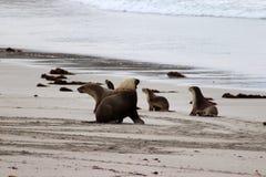 A group of australian sea lion whit a adult dominant male , Kangaroo Island South Australia. A Group of a autralian sea lion on the beach at Seal Bay , Kangaroo Stock Photo