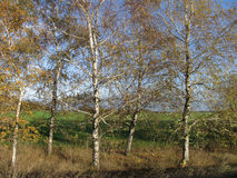 A group of autumn birch trees in sunlight. A group of autumn birch trees with yellow leaves in sunlight Royalty Free Stock Image