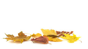 A group of autumn leaves. On a white background Stock Photography