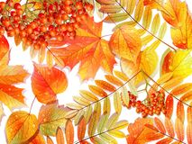Group autumn multicilor leaves on white. Royalty Free Stock Photography