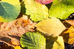 Group autumn orange leaves. Outdoor. colorful background Royalty Free Stock Photo
