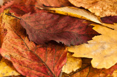 Group of autumnal leaves Royalty Free Stock Photography